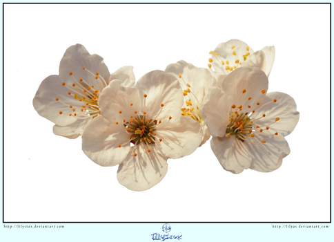 White Spring Blossoms- CUT OUT by LilyStox