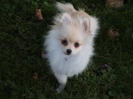 Pomeranian Puppy 1 by spagetti-sauce