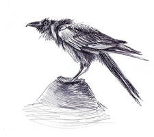 Common Raven by Thinderil