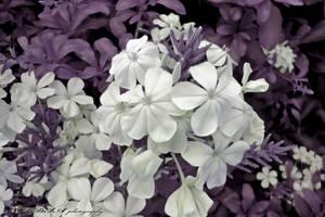 Flowers by badnan