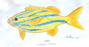 bluestripe snapper - Lutjanus kasmira by matmohair1