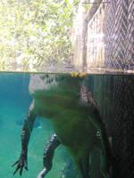 salt water crocodile by matmohair1