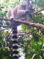 Ring Tailed Lemur by matmohair1