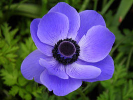 Anemone by JanuaryGuest