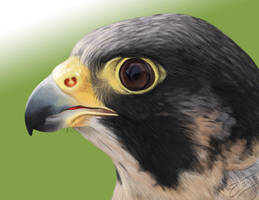 Peregrine Falcon Digital Painting by Roaben