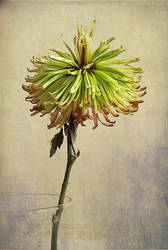 fleur morte 2 by fotocali