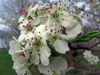 Blossom! by IceXDragon