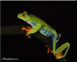 Red Eyed Tree Frog by elshorty