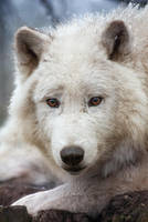 Wolf in the snow 2 by 00Michael00A