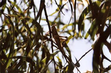grasshopper. by kaelaspaz