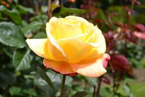 Yellow Rose by darkwolf95