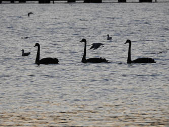 3 Black Swans by catemate