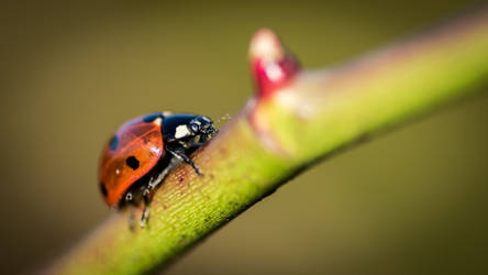 Climbing Ladybug by Wulfer001