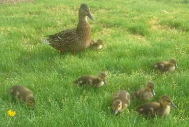 Two Week Old Ducklings by Tangerineandpuce