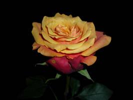 rose wallpaper by Sadira22