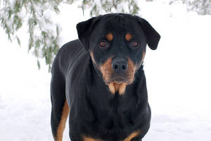 Portrait of a Rottweiler by chains1240