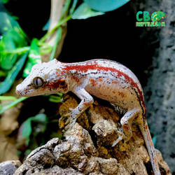 2 shades of red striped gargoyle gecko by cbreptile