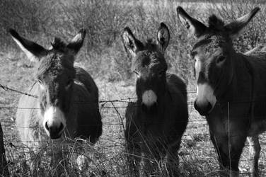 Voreppins Donkeys by Nicothelord
