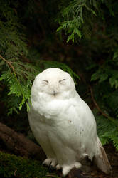 Snowy Owl Standing by happeningstock