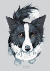 border collie sketch by azzai