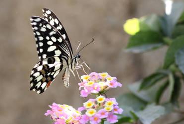 Papilio demoleus by salkutlu
