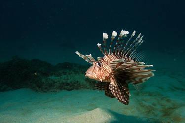 Leonfish Mauritius by riba