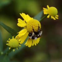 Bumble Bee in Late Afternoon Shade by mxbuck