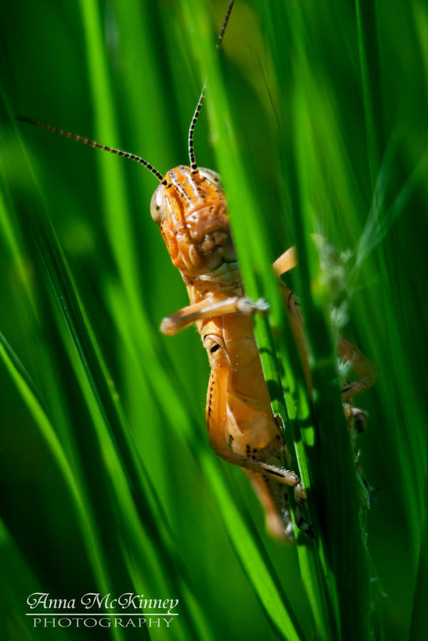 Grassy Grasshopper by Annushkka