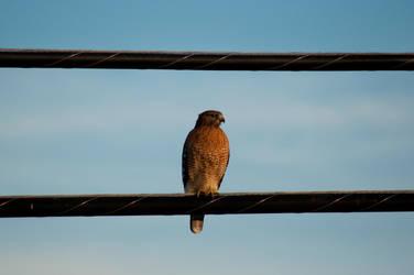 Falcon by Annushkka