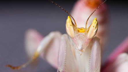 Orchid Mantis by RaikiriChidori