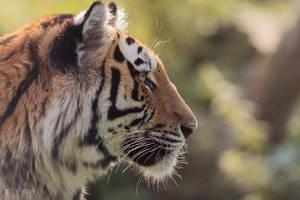 Tiger profile. by Ravenith