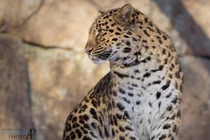 Amur leopard. by Ravenith