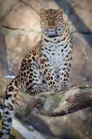 Amur leopard portrait. by Ravenith