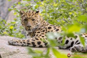 Female amur leopard. by Ravenith