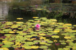 Water Lily 2 by photoshop-stock