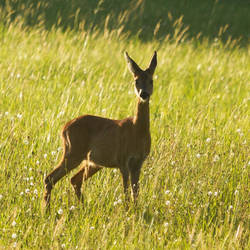 Curious doe by LetMeBePhotography