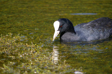 The evil coot by doulifee
