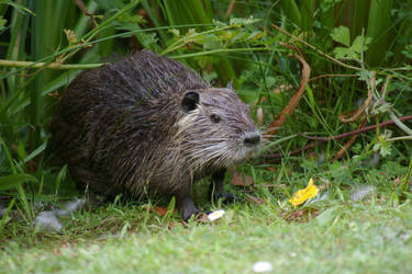 Muskrat by doulifee