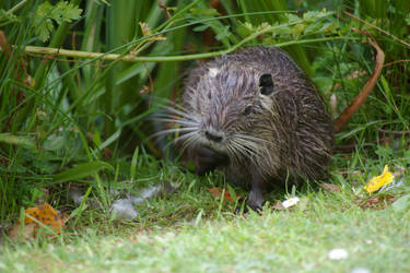 the thinking muskrat by doulifee
