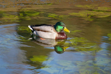 Mallard in the pond by doulifee
