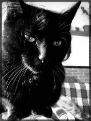 Black cat by Tristis-soul