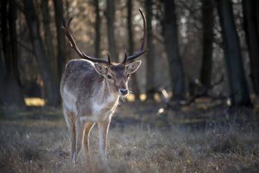 Fallow deer by Ringtailmaki