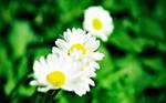 Focus on daisy by lys036