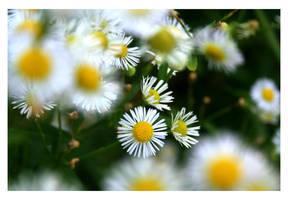 Dreamy daisies by Deea-Dee