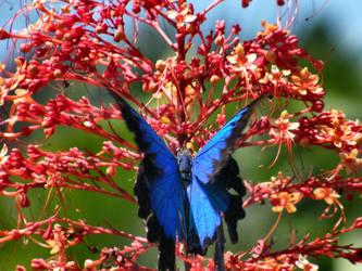 Ulysses Butterfly on Sunburst by tablelander