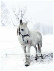 white horse by Kyntio