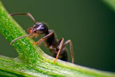 Just ant by biretta