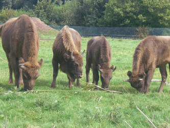 Buffalo by sineadikins