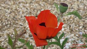 pretty poppy by FallenAngel6950