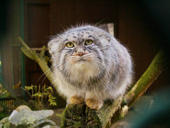 Manul by Scorpy-chan